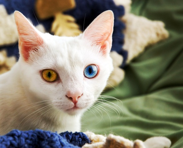 June_odd-eyed-cat-steghide